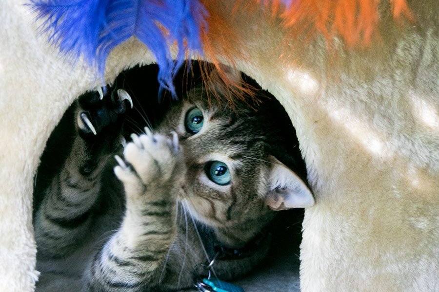 To declaw or not to declaw?